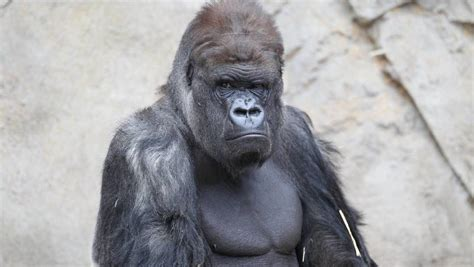 kibabu mogo zoos silverback gorilla dies newcastle herald
