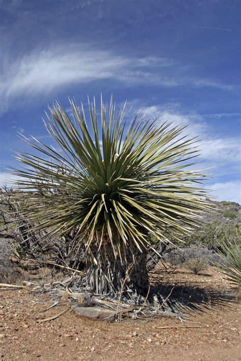 yucca palme düngen yucca palme foto bild pflanzen pilze flechten kakteen sukkulenten natur bilder auf