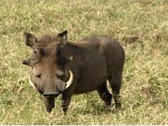 File Warthog  male  Se...
