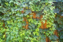 Wilder Wein Vermehren : wilder wein kann man die fr chte verwenden ~ Orissabook.com Haus und Dekorationen