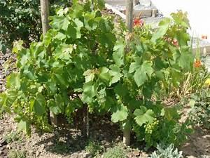 Achat Pied De Vigne Raisin De Table : raisin de table ~ Nature-et-papiers.com Idées de Décoration