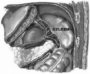 Anatomy Of The Upper Abdomen With Respect To The Spleen
