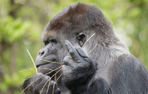 oboi znak obezyana gorilla zhest kartinki na rabochiy
