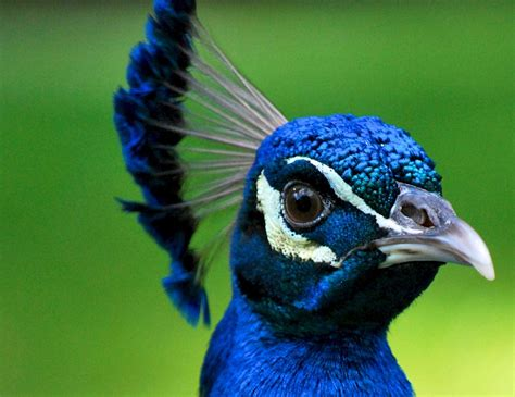 beautiful peacock  stunning peacocks