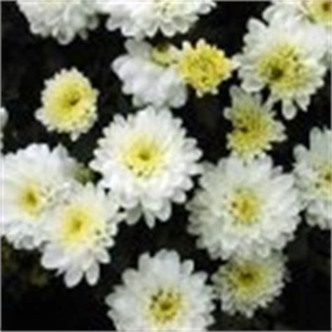 Chrysanthemum Indicum Winterhart Herbstchrysantheme Chrysanthemum