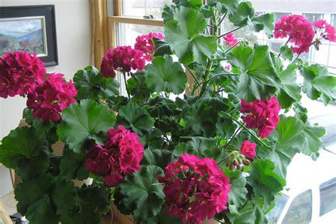 fragrant houseplants fragrant plants for houseplant appreciation day fragrant flowers