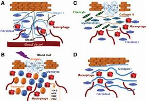 Four Phases Of Wound Healing And Collagen I And Iii