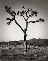 Joshua Tree Black and White Photography