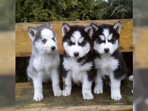 Husky Zu Verkaufen : tieranzeigen aufgeweckten kleinanzeigen ~ Orissabook.com Haus und Dekorationen