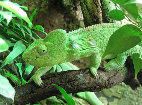 chameleon pet chameleons as pets 5 things you should know before getting a chameleon
