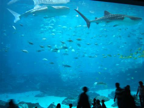 bureau aquarium ga aquarium 28 images aquarium s whale shark exhibit
