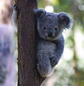 17 Best images about Koala on Pinterest | Trees, Football ...