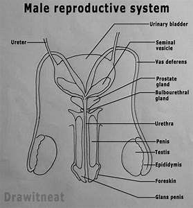 Show A Easy And Draw Able Diagram Of Male Reproductive