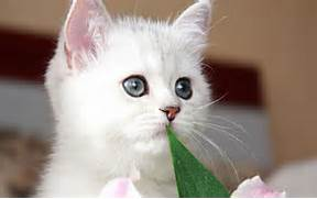 Cute White Kittens With Blue Eyes Wallpaper Cute White Kit - Litle      White Baby Cat With Blue Eyes