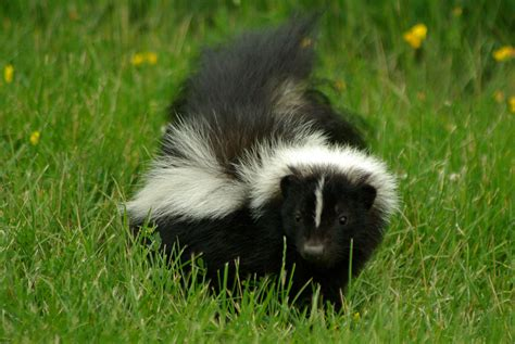 Skunk Smell Removal My Dog Was Sprayed What Do I Do