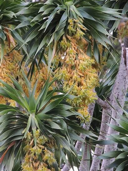 Dracaena Tree Hawaiian Hawaii Species Hala Dragon