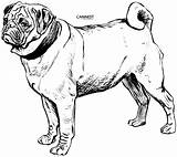 Coloring Dog Breed Pug Drawing Line Draw Lg Pets sketch template