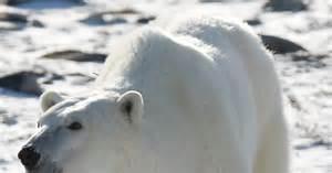 polar bears    danger   study ny daily news