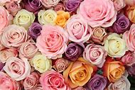Rose Color Meanings Flowers
