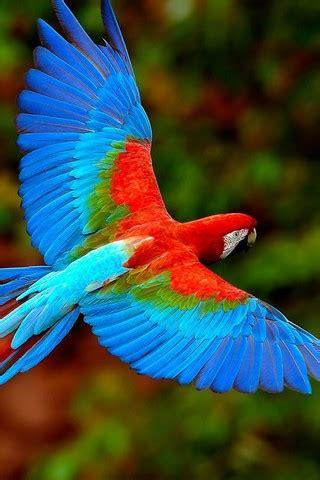 scarlet macaws birds flying parrots wallpaper