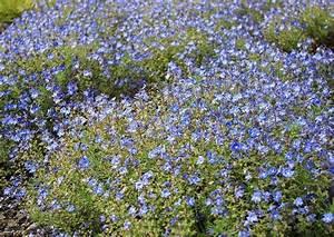 Blau Blühender Bodendecker : blau bl hende rosenbegleitstauden ~ Frokenaadalensverden.com Haus und Dekorationen