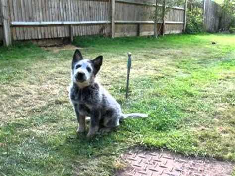 week  cattle dog clicker training youtube