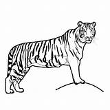 Tiger Coloring Pages Printable Clip Tigers sketch template