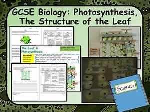 Gcse Aqa Biology  Science  Leaf Structure  U0026 Photosynthesis