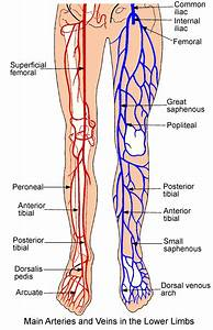 Lower Extremity Anatomy  Parts And Functions