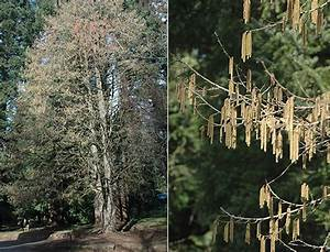 Corylus colurna, Oregon State Univ., LANDSCAPE PLANTS