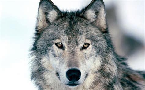 wolf wallpaper  wallpapersafari