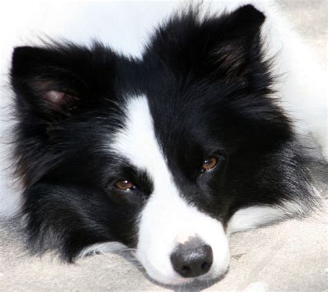ears dogs border collie