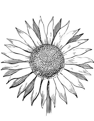 sunflower coloring page supercoloringcom