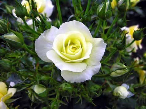 Cytotec Obat Kumpulan Gambar Bunga Mawar Putih Yang Cantik Indah Blog