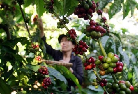Robusta Coffee Swings To Backwardation Amid Vietnam Supply Coffee Tables For Sale In Durban Kzn Red Johannesburg Arabic With Cardamom Benefits Is Made Of Dublin Homemade Metal Table Montreal Drum Uk