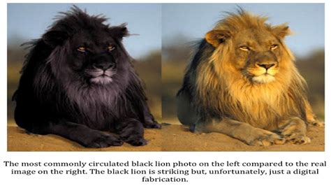 lions  dangrous hd  wallpapers hd wallpaper