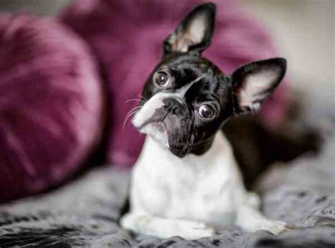 Boston Terrier Small Breed Dogs