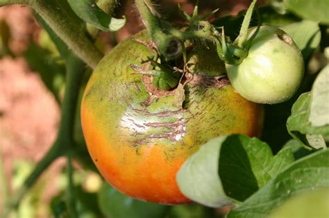 http://www.walterreeves.com/gardening-q-and-a/tomato-cracking-fruit-2/