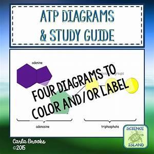 Atp Diagrams  U0026 Study Guide