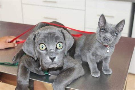 dog  cat face swaps  creepy boing boing