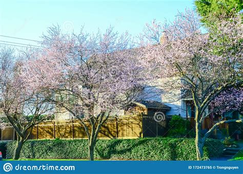 Row Of Blooming Cherry Trees Near Suburban House In
