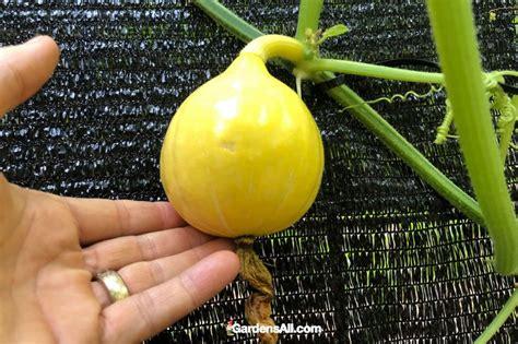 Growing Red Kuri Winter Squash   GardensAll