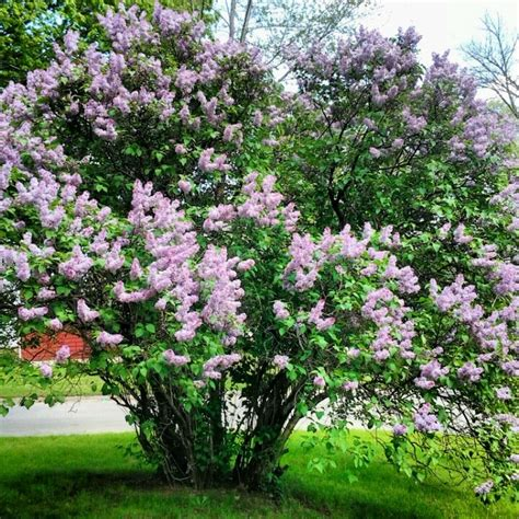 Lilac Tree by Lilac Tree Gardening