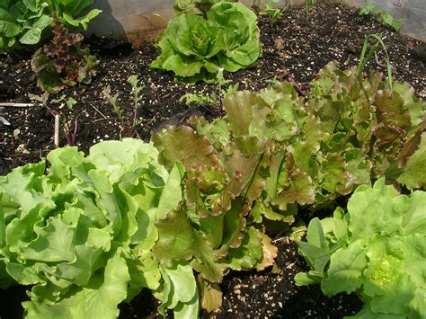 How To Grow Lettuce-growing Lettuce-garden Lettuce