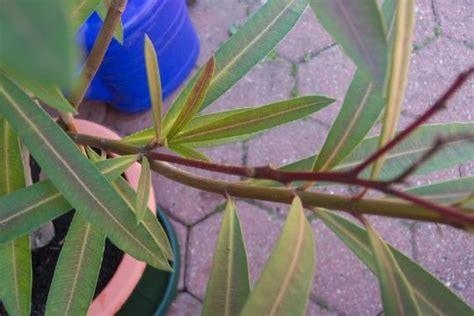 alte bluetenstaende beim oleander mein schoener garten forum
