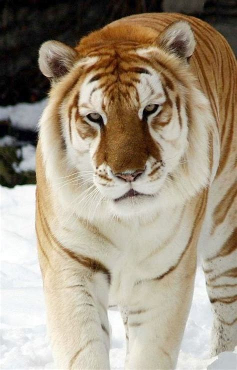 Liger Lion Tiger Crossbreed New Fave Big Cat