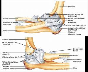 Elbow ligaments: Radial collateral (A and P); Ulnar ...