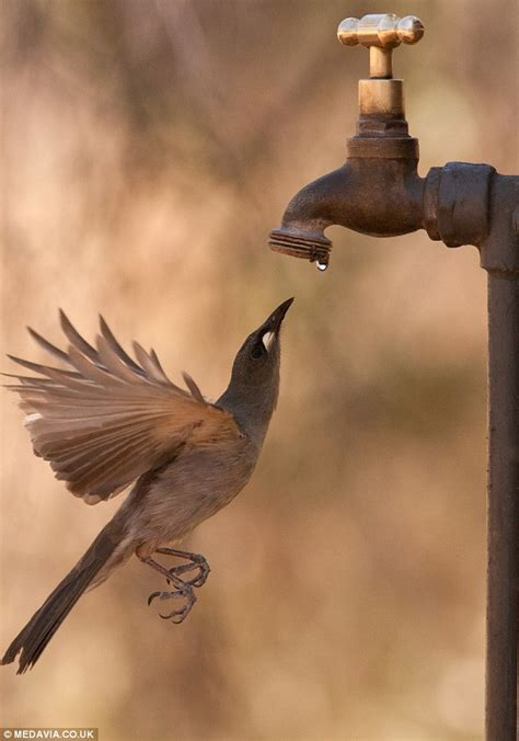 honeyeater birds catch water droplets in midair as they