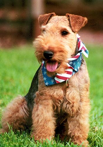 welsh terrier breed information history health pictures