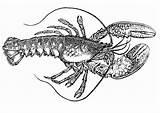 Langosta Lobster Coloriage Homard Coloring Krebs Dibujo Colorear Kreeft Langusta Spiny Malvorlage Colorare Disegno Kleurplaat Grande Sketch Template Designlooter Ausmalbild sketch template